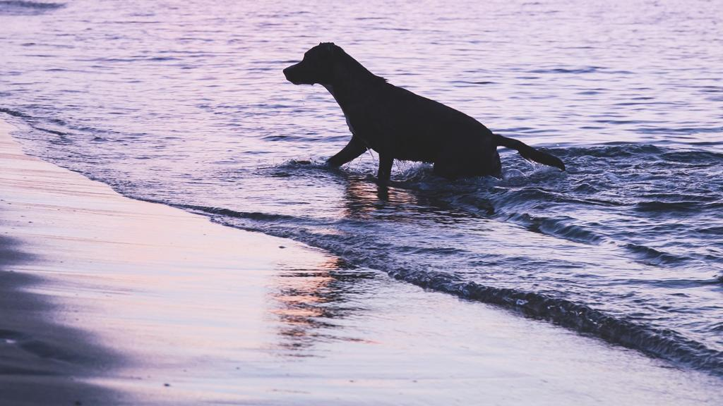 A Rimini i cani possono fare il bagno in mare con i loro proprietari