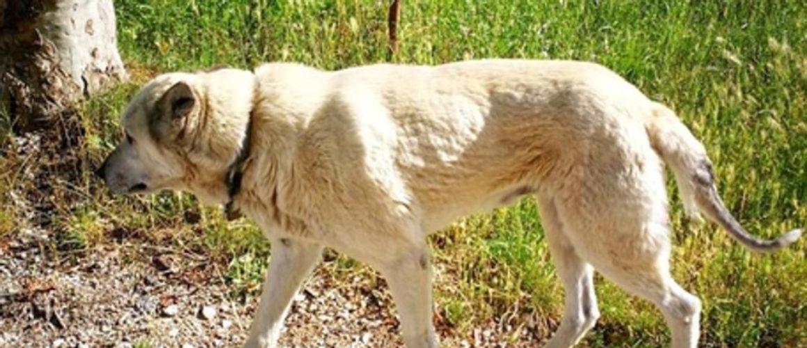 Nocciolino, il cane terremotato percorre 60 chilometri per tornare nella sua terra
