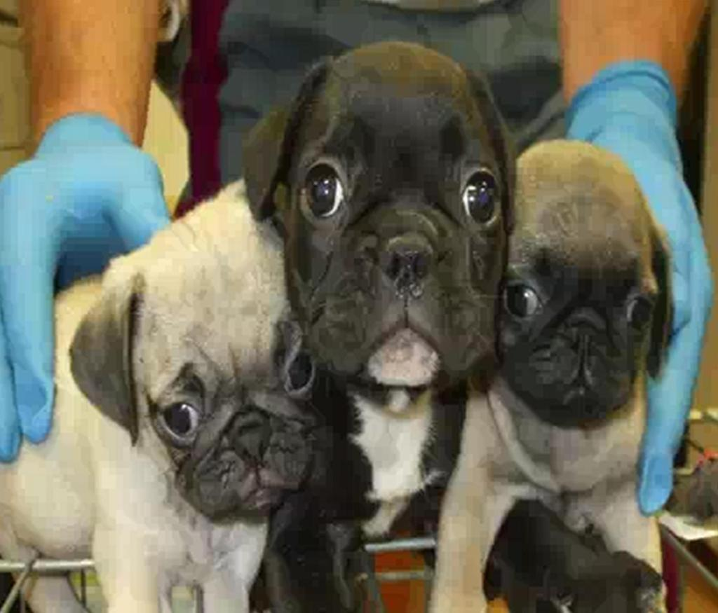 Cani comprati nell'Est Europa per pochi spiccioli e rivenduti a 850 euro in Italia: smantellata una banda