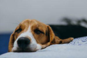 Il Veterinario nella gestione di cani e gatti di proprietari Covid